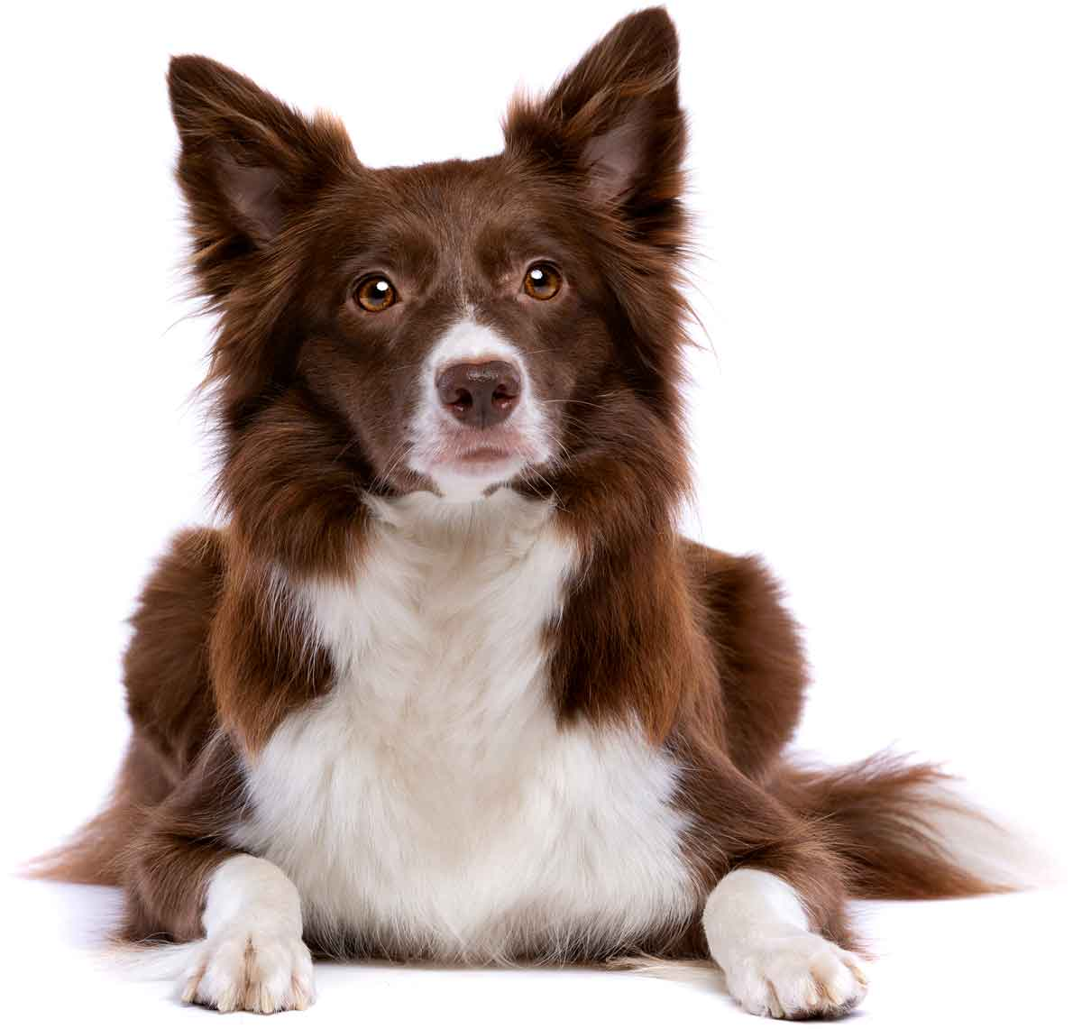 Picture of a border collie.